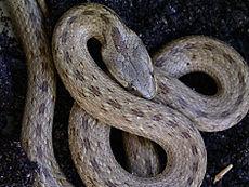 Käärmelajit